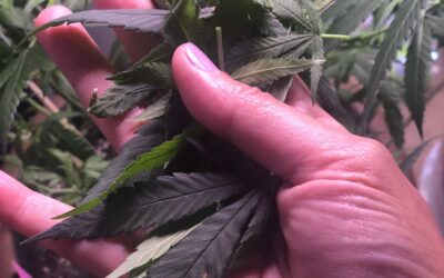 Cannabis and Hashimotos Thyroiditis: A Personal Journey
