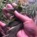 women holding cannabis leaves in palm of hand